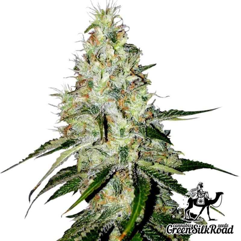 Auto White Widow Feminised - Semillas De Marihuana & Cannabis