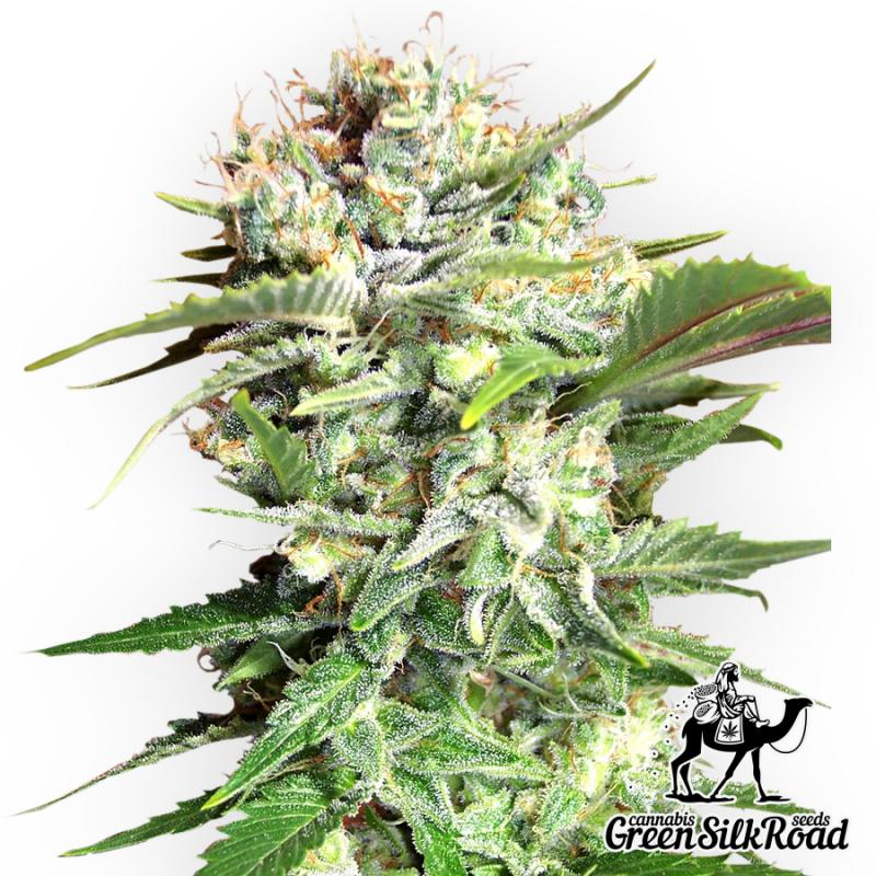 Bubble Gum Feminised - Semillas De Marihuana & Cannabis
