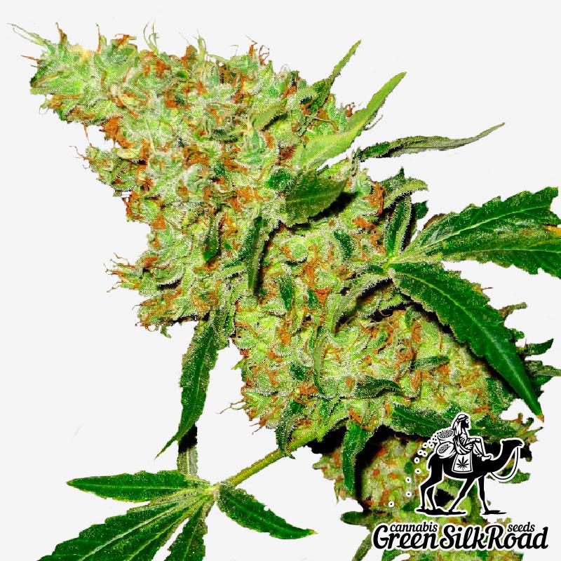 Amnesia Feminised - Semillas De Marihuana & Cannabis