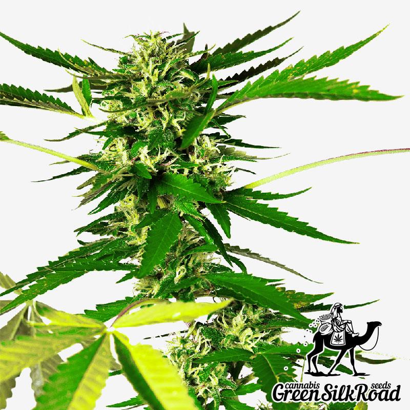 Somango Feminised - Semillas De Marihuana & Cannabis
