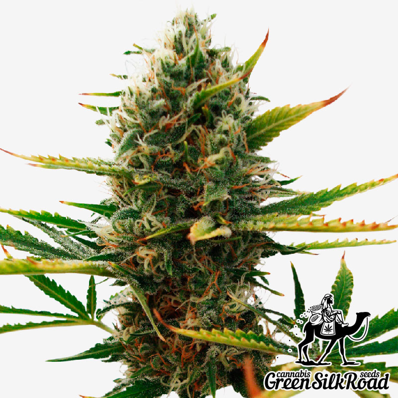 Super Skunk Feminised - Semillas De Marihuana & Cannabis