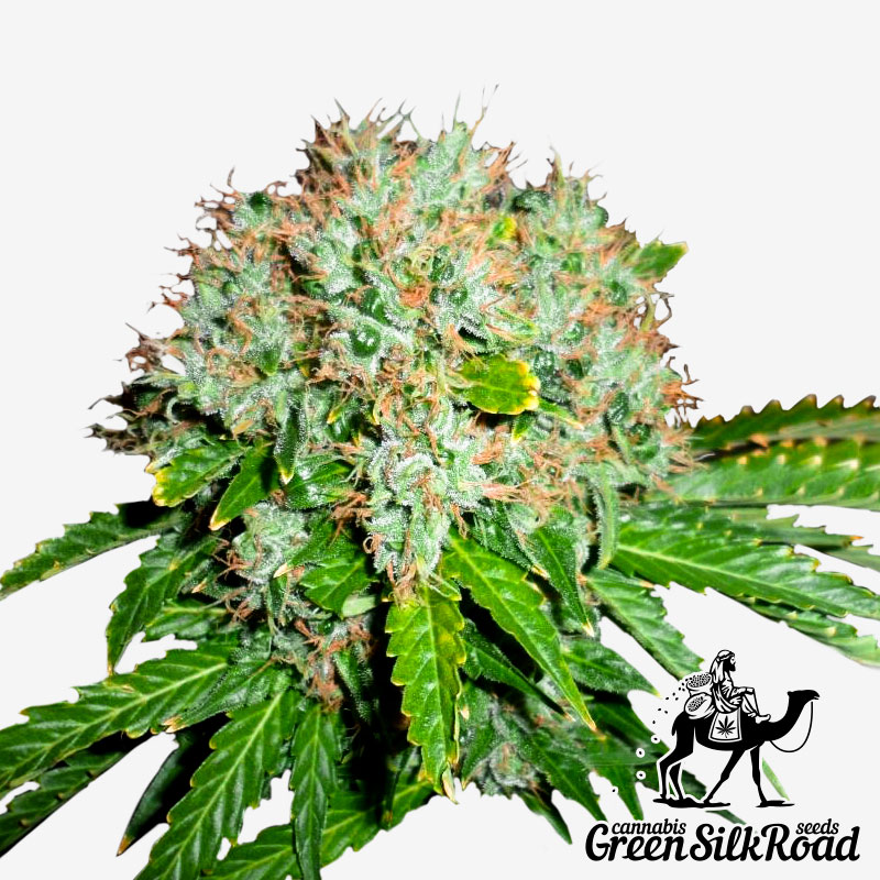 White Widow Feminised - Semillas De Marihuana & Cannabis